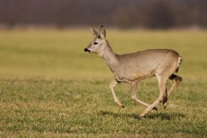 Running roe by JMrocek