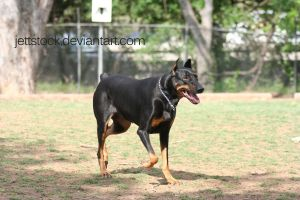 doberman 3 by jettstock