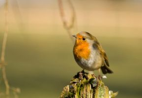 Countryside robin by AngiWallace