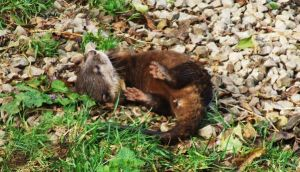 Baby Otter by Yawn-Monster