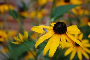 Fly on Black-eyed Susan 1 by Chalax91