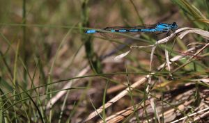 Dragonfly two by UltrasonicLucy
