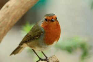 Resident Robin by Tinap