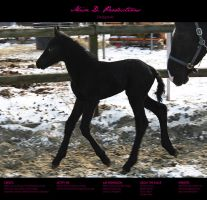 Horse Stock 59 - Friesian by MiszD
