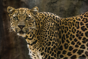 Leopard by oriondesignnorway