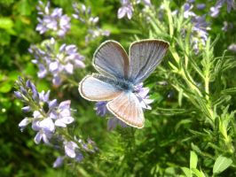 Blue butterfly by msMIM
