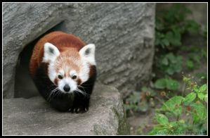 Red panda II by AF--Photography
