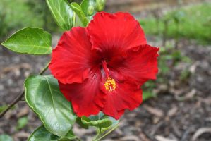 Hibiscus 2665 by fa-stock