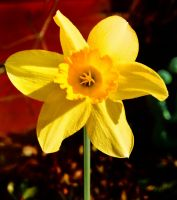 Daffodill by IconicJohn