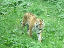 Approaching Tiger by MadForHatters
