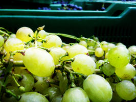 Grapes from Harvest by Dreefire