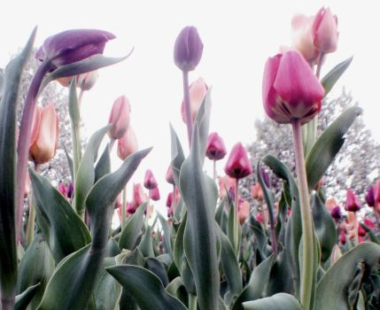 Tulips by LeslieE