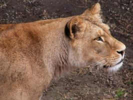 Barbary Lion 02 by animalphotos