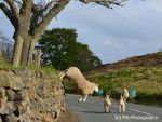 Crazy Sheep- Heroic mother! by MA-PHOTOGRAPHIC