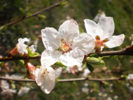 Spring Blossom by tinuvielluthien
