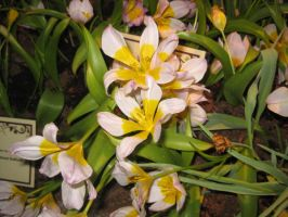 White and Yellow Lilies by ChaosToGlory