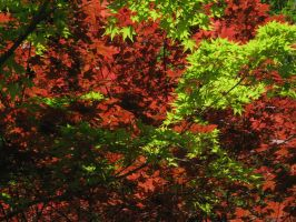 Maples in spring by merumori