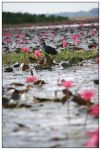 lotus forest No. 8 by areefeen