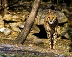 cheetah529 by redbeard31