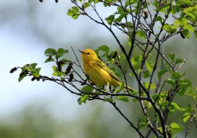 Yellow Warbler by sgt-slaughter