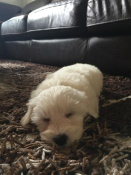 This is my Maltese puppy by Sunnyrays10