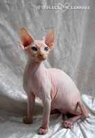 Sphynx-kitten by felill
