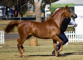 STOCK - 2014 TotR Arabians-4 by fillyrox