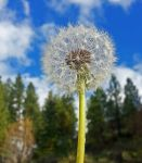 Dandelion Seeding by mistakeablyme