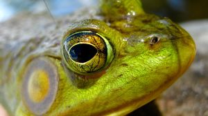 Kiss the bullfrog by TortueBulle