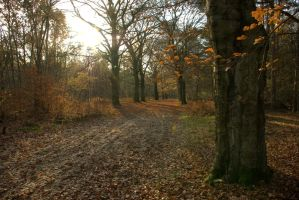 Beech lane - sun by steppelandstock
