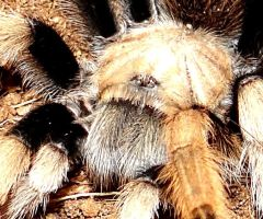 Texas Tan Tarantula by Jenn-Coney1976