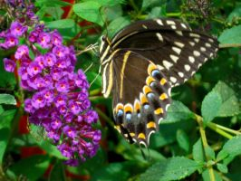 Palamedes Swallowtail 2 by Squirrelflight-77