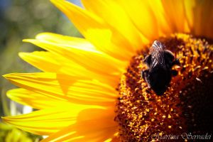 Sunflower and Bee by Martina31