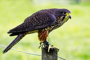 New Zealand Bird of Prey by carterr
