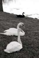 Black Swan by m4ratron