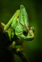 Chameleon by Changas