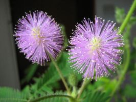 800px-Mimosa-pudica-flower by vafiehya
