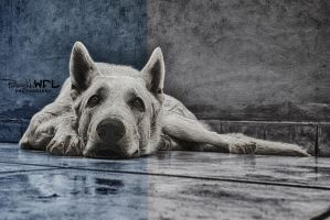 White swiss shepherd by Piroshki-Photography