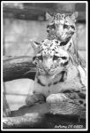 Clouded leopard 2 by swell56
