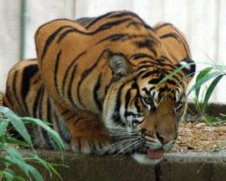 Crouching Tiger by msdean
