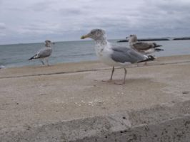 Seagull gangs are spreading... by forever-at-peace