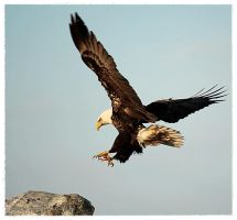Eagle Landing by CanonSX20