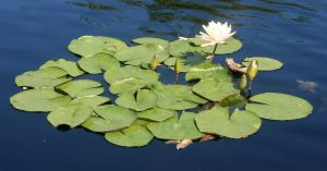 Denver Botanical Lilypads 37 by Falln-Stock