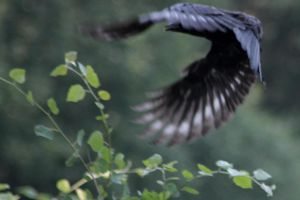 Crow in flight by lwernham