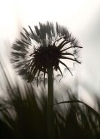 Fluffy Dandelion 9521709 by StockProject1
