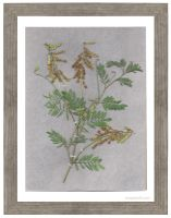Pressed Leaves including Amorpha fruticosa by omegalith