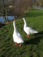 Animals - gooses 2 by Stock-gallery