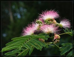Mimosa 40D0008943 by Cristian-M