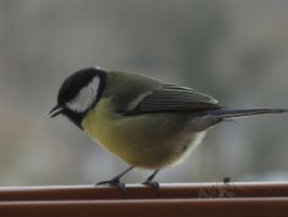 Great Tit 02 by animalphotos