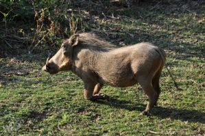 SA DAY 02-Little Warthogs VII by ImLookingForTime